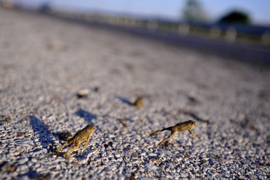 frogs-in-greece-002